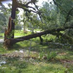 Jess's Parents' Neighbor's Tree after Gustav